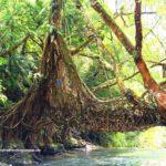 4 day trip to Meghalaya | Living Root Bridge